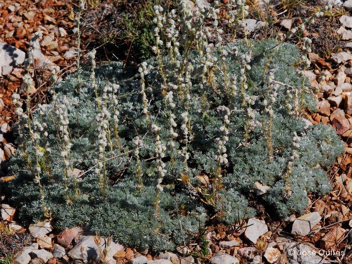 Artemisia assoana Artemisia_assoana4