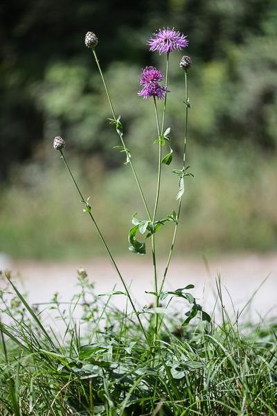 Centaurea jacea - centaurée jacée  Centaureescab_2