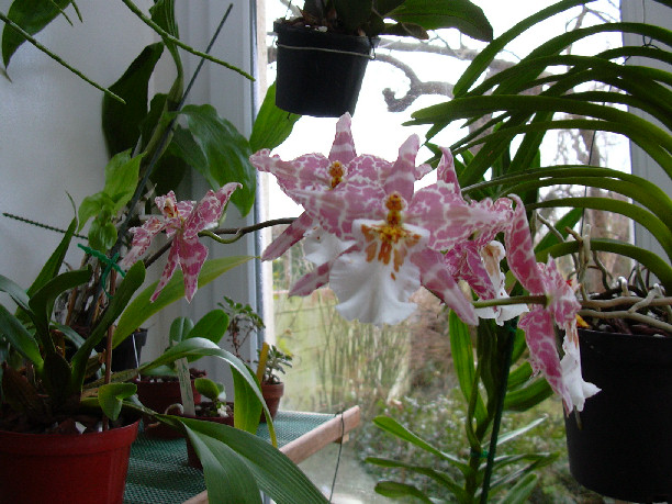Odontoglossum hybride  Odonto