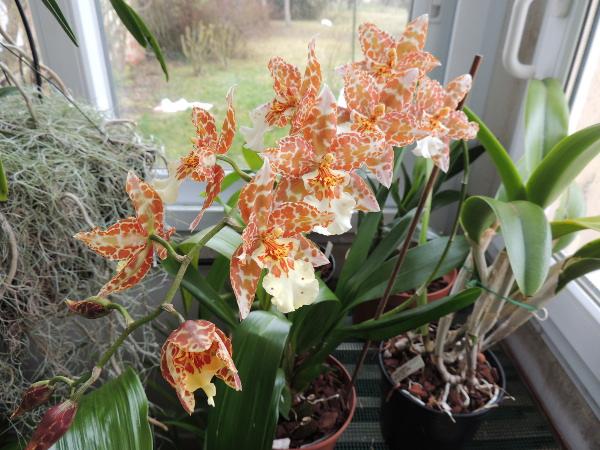 Odontoglossum hybride  Odondo