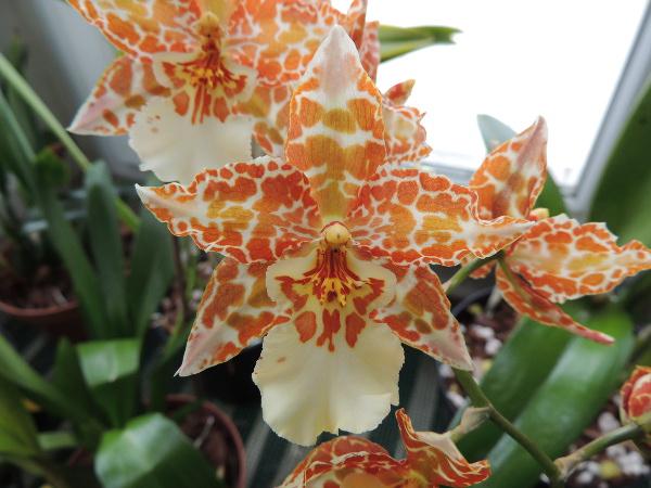 Odontoglossum hybride  Odonto2