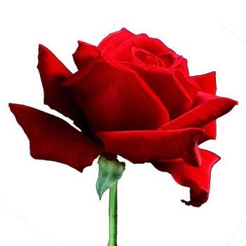 60. Gönülçelen -Inima furata - Heart Stealer - General Discussions - Comentarii - Pagina 5 Trandafir_350