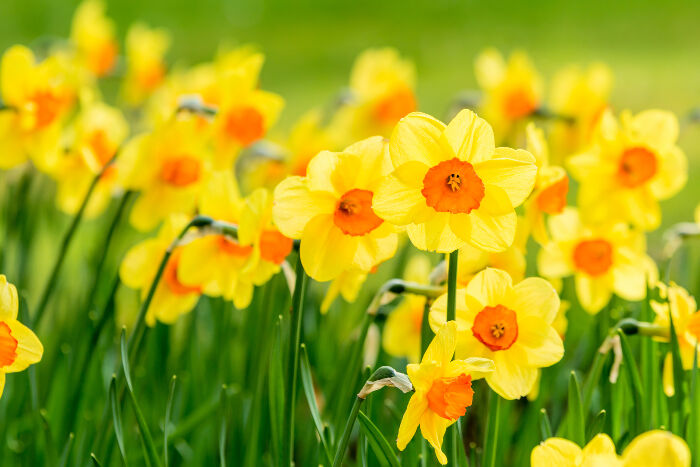Oil sight galss Daffodil-Meaning