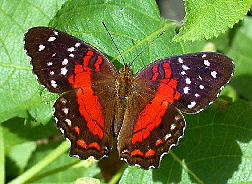 صور فراشات روعه Butterfly_02_6
