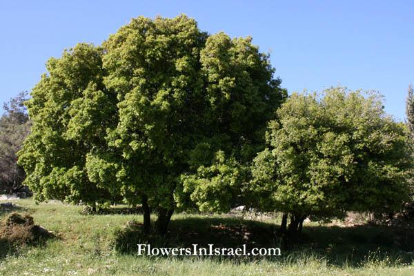 Residente en Vendrell Quercus_calliprinos_flower2