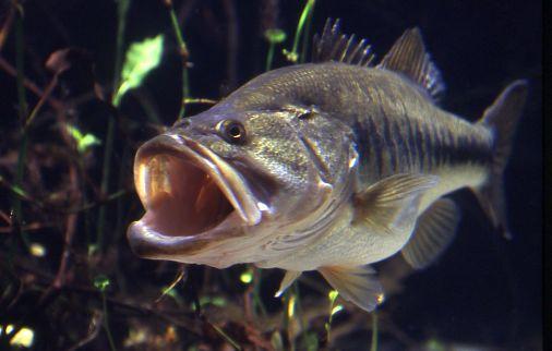 Galería de imágenes de Lobina / Bass Largemouth_Bass
