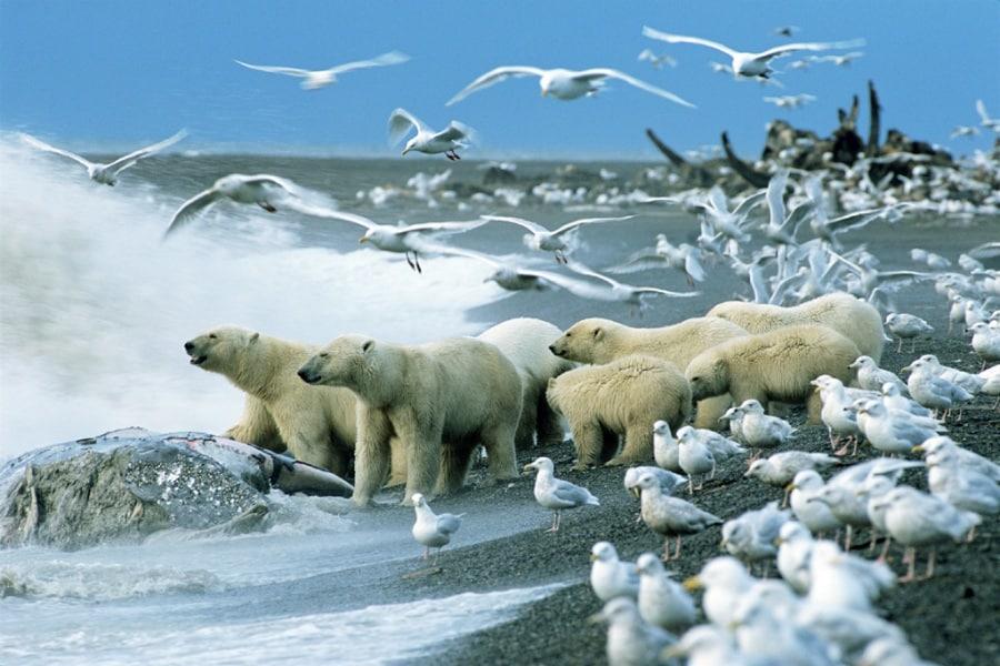 L'arte della fotografia - Pagina 2 Wp42-garber-polar-bears-sca.900x600