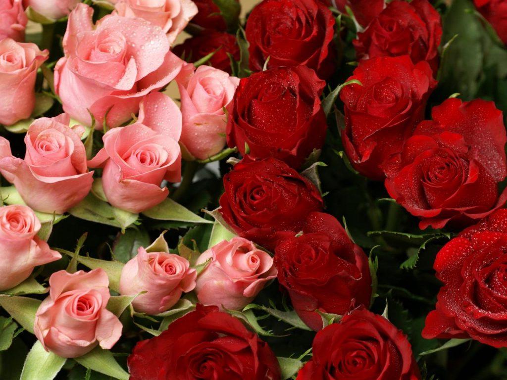 Te regalo una rosa Fondos-rosas-rojas-y-rosas