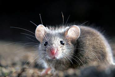 Ratos sentem empatia por companheiros 4178_Kopia-Kopia-435_mysz