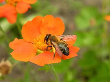L'abeille et le Yucca Gloriosa (Acrostiche Abécédaire) 918_DSCN2017