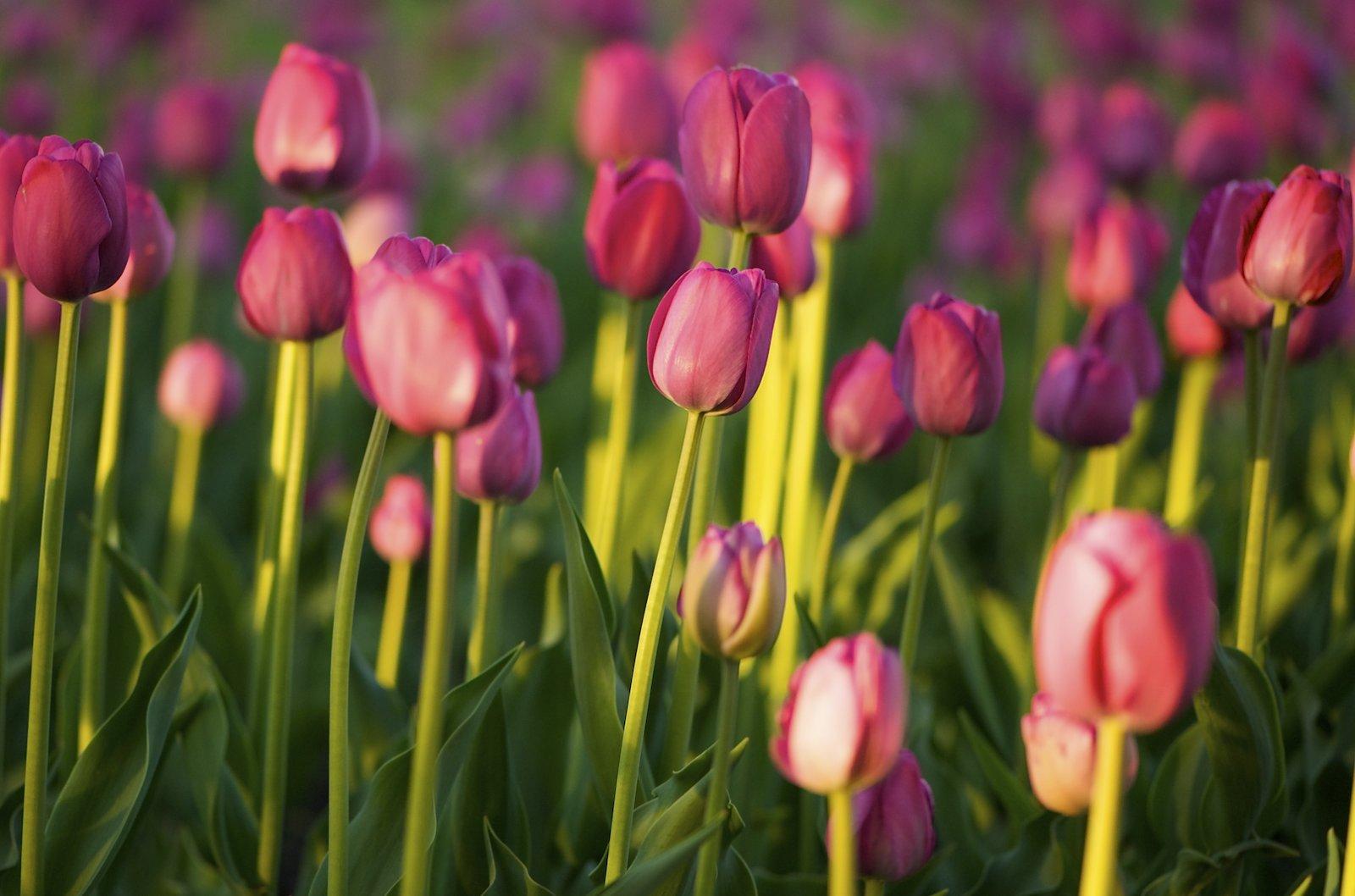 Me Quede sin frenos y no se que Hacer!! Campo-tulipanes-9