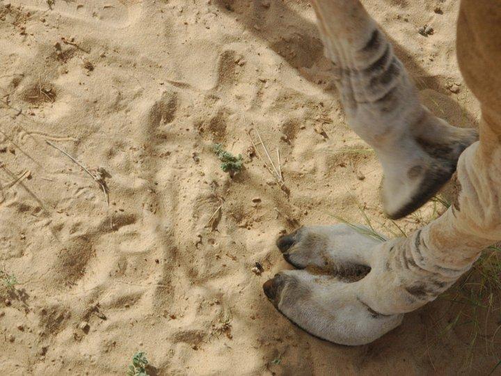 Aïd-el-kébir : une caméra cachée dénonce les conditions d'abattage de moutons  - Page 5 000131064-mali