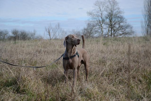 HENDZO - braque de weimar 6 ans - Refuge de Bayonne (64) 2039-2-adopter-un-chien-hendzo