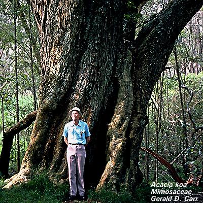 Árvores - Nossos baixos antes de tomar forma Aca_koa_big