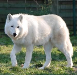 Le petit nouveau vous dit bonjour Loup_arctique-300x292