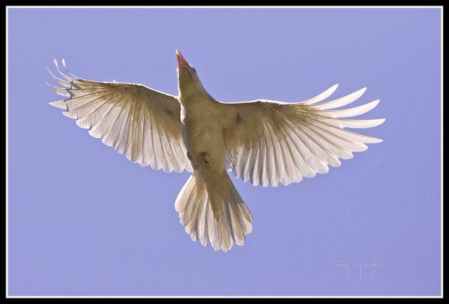 Corbeau blanc? 795943