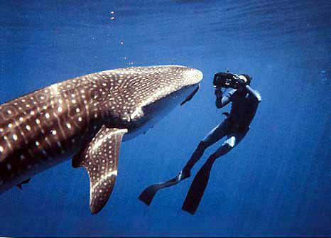 بحث عن القرش Whlshrk