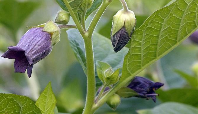 Растения, которые могут обеспечить человеку мучительную смерть 10