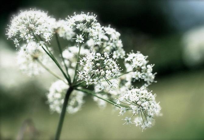 Растения, которые могут обеспечить человеку мучительную смерть 11