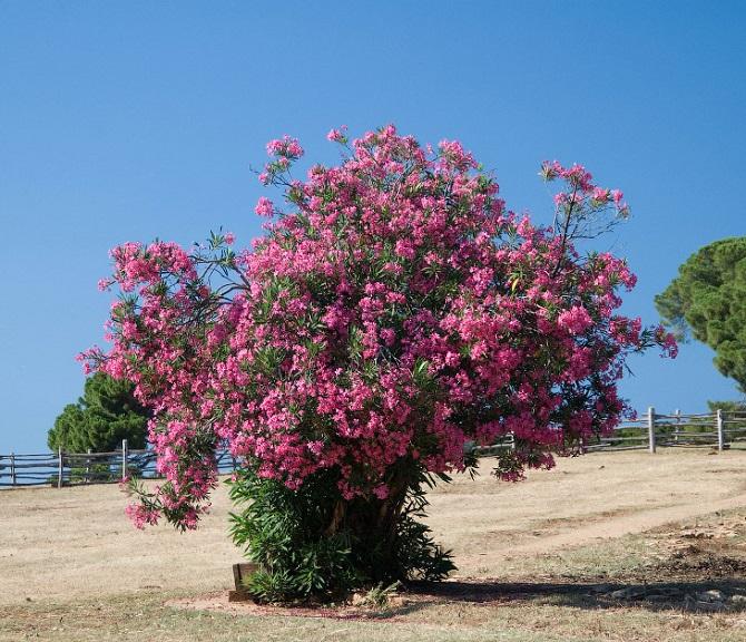 Растения, которые могут обеспечить человеку мучительную смерть 2