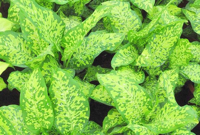 Растения, которые могут обеспечить человеку мучительную смерть 3