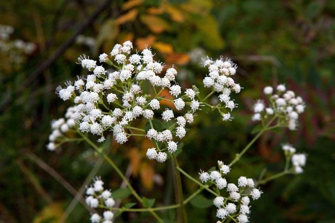 Растения, которые могут обеспечить человеку мучительную смерть 5