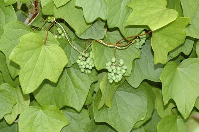 Растения, которые могут обеспечить человеку мучительную смерть 6
