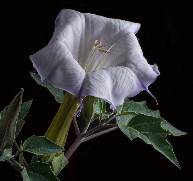 Растения, которые могут обеспечить человеку мучительную смерть 9