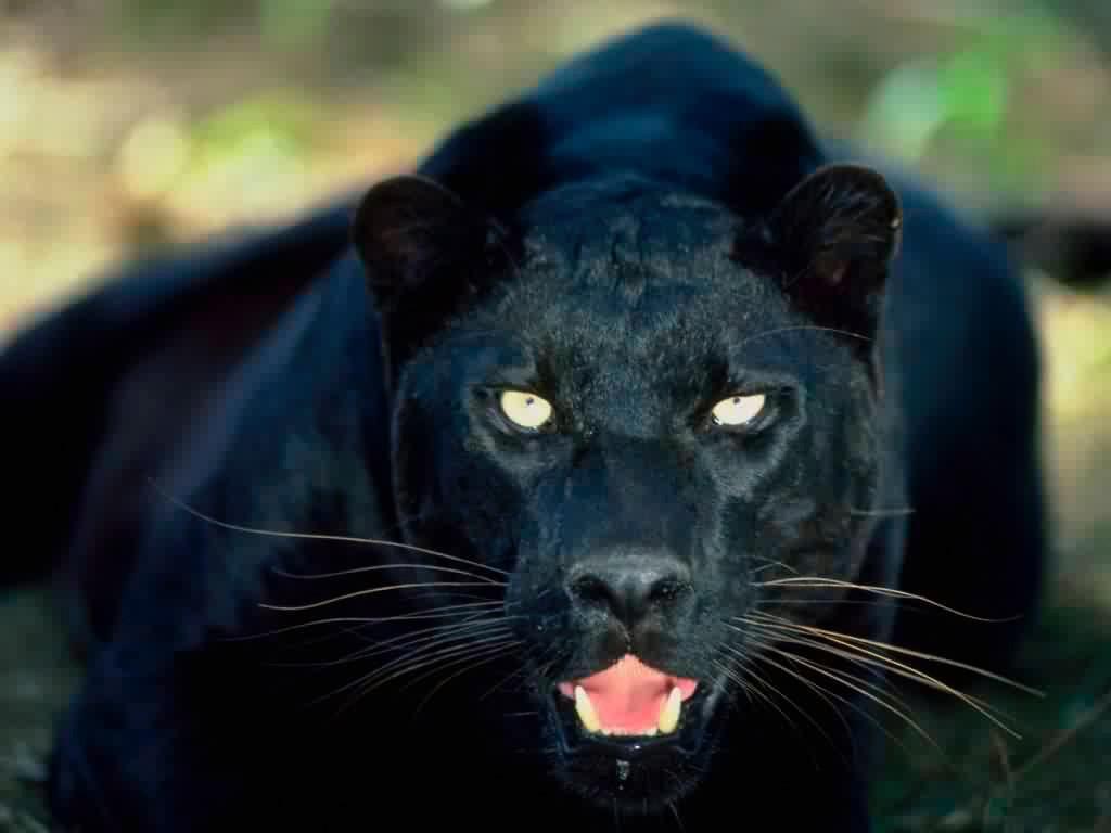 Lo bello de lo salvaje Puma_negro