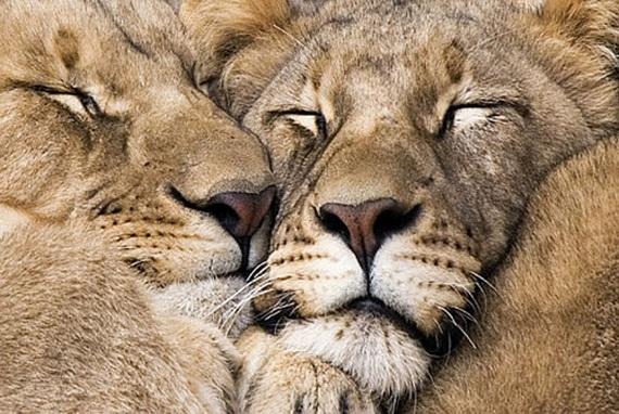 الحيوان والحب Animals-in-love-08