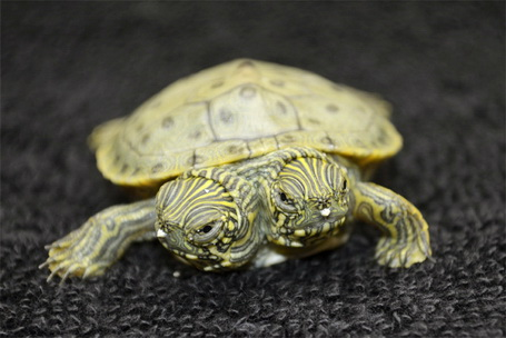 Izlegla se dvoglava kornjača Two-headed-turtle