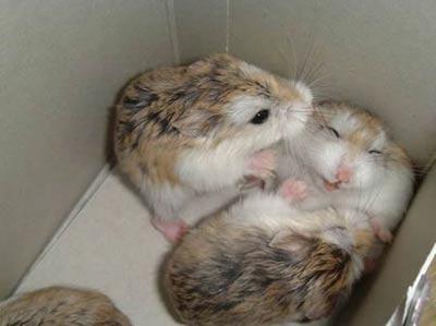 Hrčci - hrčak Hamster-tickle