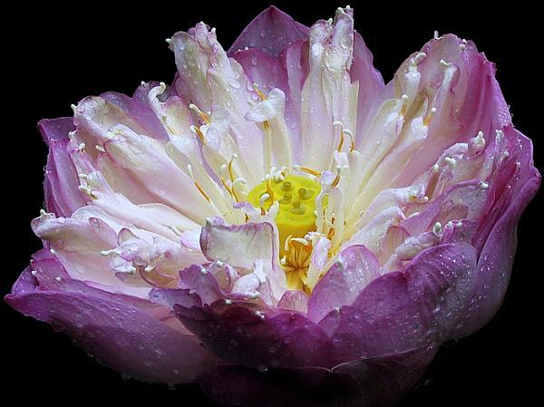 Avalon's gardens Purple%20Foxglove