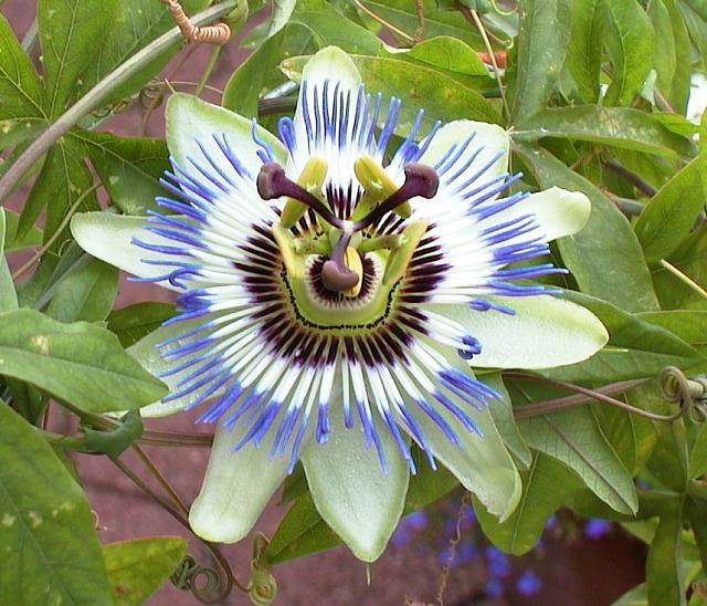 Avalon's gardens Passion%20flower
