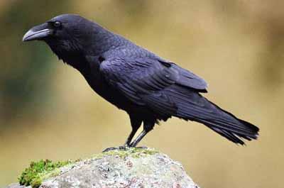 WEEK 6 LINES ®© ™   Raven%20sitting