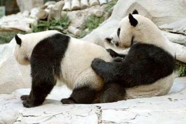 Ubo Savinellicu 2! - Page 5 Pandas