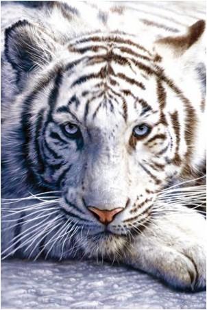 Matt Gilson Tigre-blanc-n-4860162-0