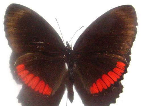 Quelques beaux papillons de Guyane Papillon_jour_2