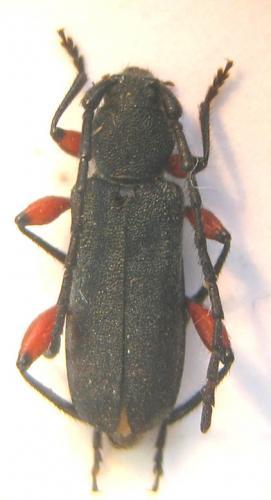 [Ropalopus femoratus] Longicorne Longicorne