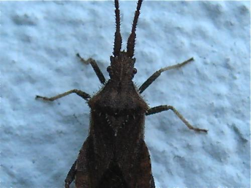 Coriomeris denticulatus Img_2463_2.jpgu