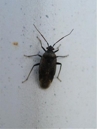 Lygus rugulipennis Img_3023.jpg