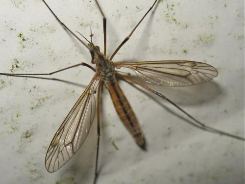[Tipula vernalis] Tipule qui pullule en ce moment Img_5611.jpg