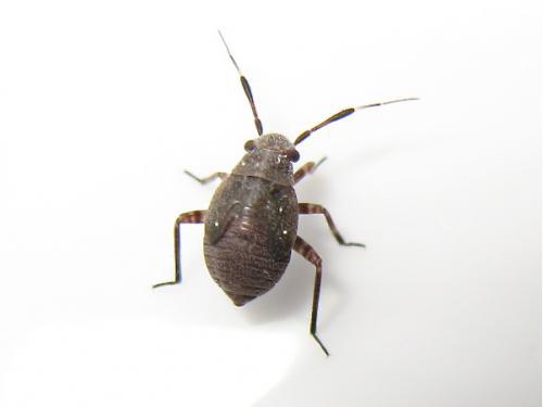 Quizz larve (Capsus ater) Img_6185.jpg