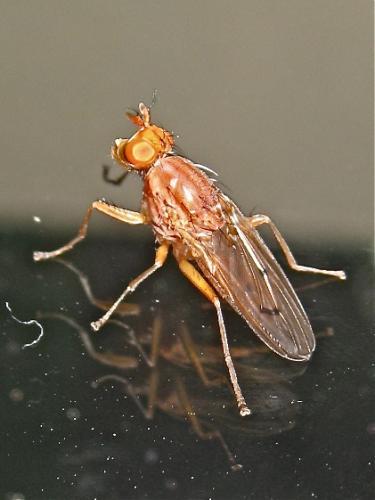 Sciomyzidae Img_6263.jpg