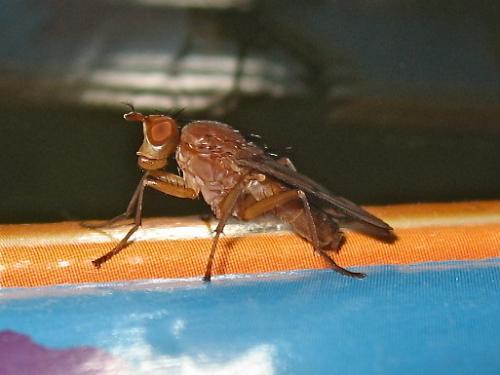 Sciomyzidae Img_6265.jpg