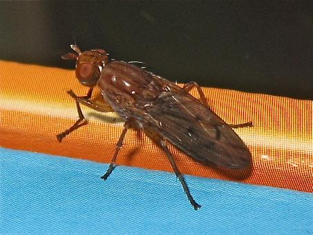 Sciomyzidae Img_6266.jpg