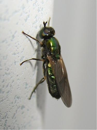 [Chloromyia formosa] En voici une qui commence à pointé son nez Img_6602.jpg
