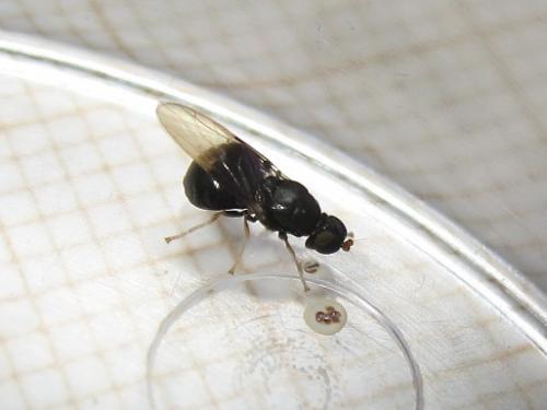 Quizz petite à gros ventre (Pachygaster atra) Img_7177.jpg