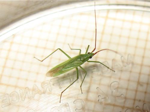 Gracile verte à antennes rougeâtres Img_7202.jpg