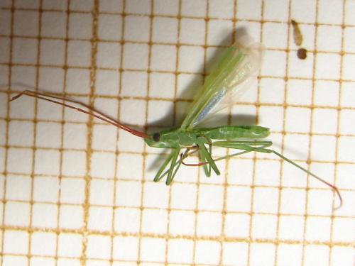 Gracile verte à antennes rougeâtres Img_7218.jpg